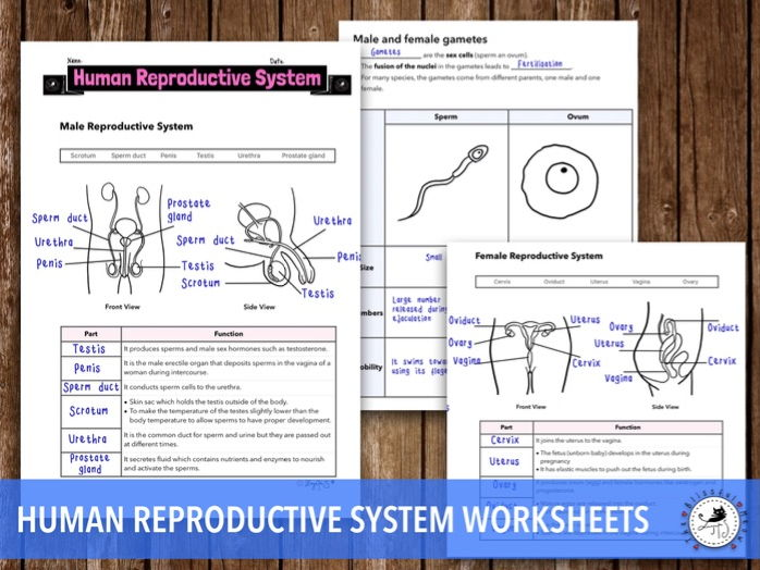 Human Reproductive System - Worksheet