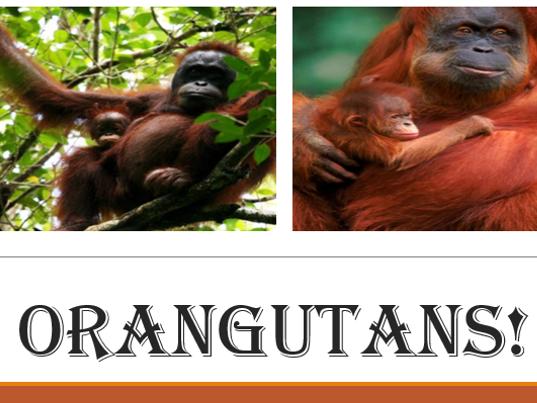 Orangutans Reading comprehension: Outstanding lesson