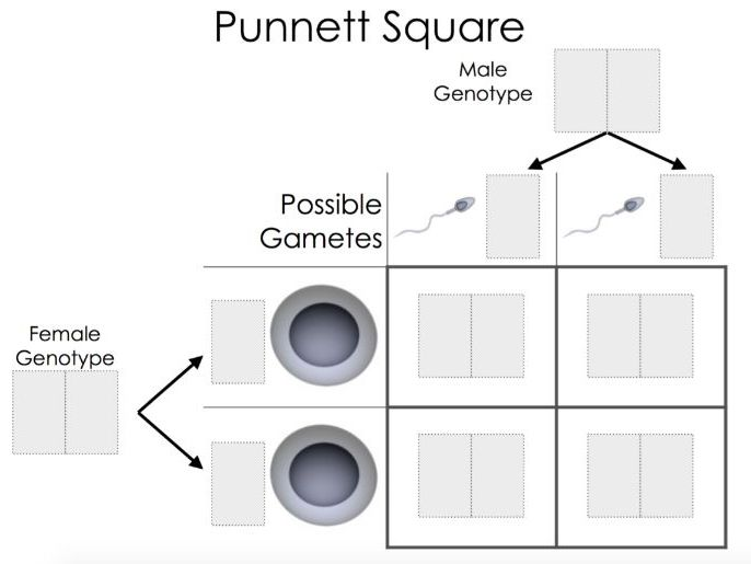 Punnet Square Template - EDEXCEL GCSE (9-1) Combined Science Paper 1
