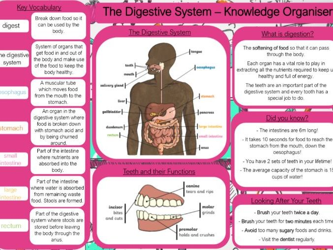 The Digestive System Knowledge Organiser