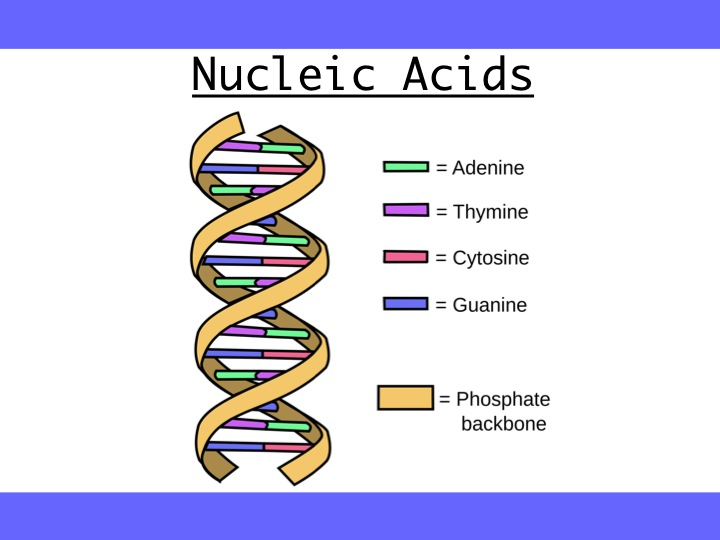 Nucleic acids, DNA replication, Water and its functions