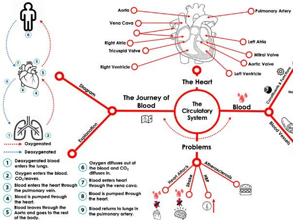 Circulatory System (Graphic Organiser)