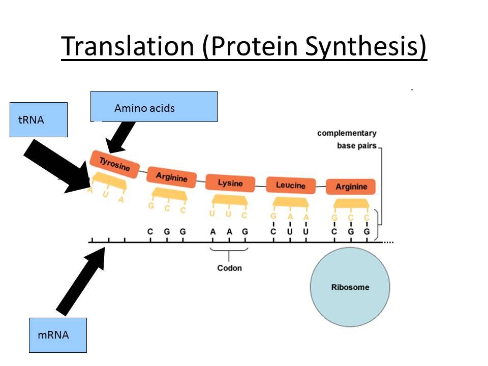 Transcription & Translation - OCR AS/A Level Biology