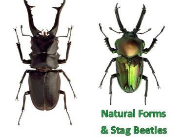 "Natural Forms Art ""Stag Beetles"" Worksheet"