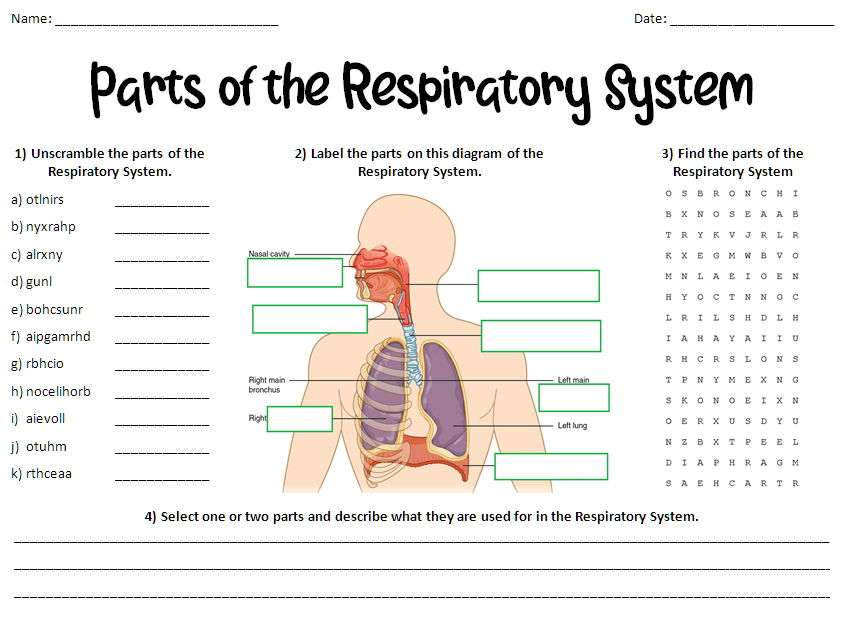 Parts of the Respiratory (Breathing) System Worksheet