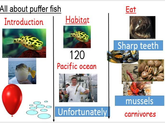 Year 2 Puffer Fish Information text 3 week Unit