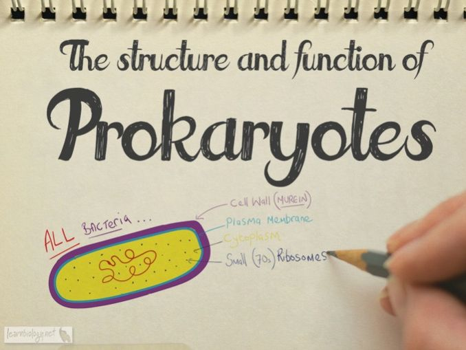 Prokaryote Structure and Function - A-Level Biology Revision Notes & Worksheet