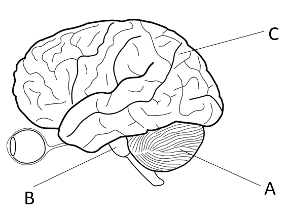 GCSE (Grade 1-9) Biology Revision Worksheets - The brain ...