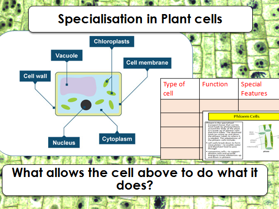 AQA GCSE B1.4 Specialisation in plant cells (2018 SPEC)