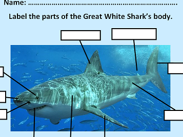 KS1 & 2 Label the parts of the Great White Shark