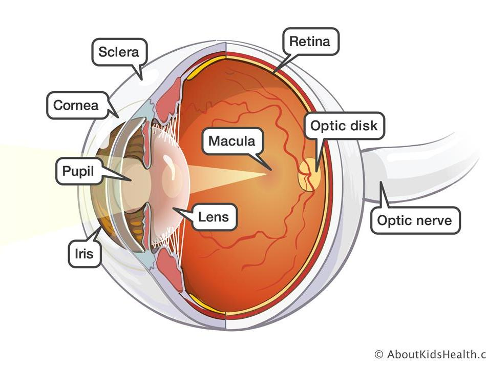 The Structure and Function of the Eye
