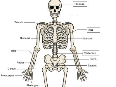 GCSE PE AQA 1-9: Anatomy + Physiology - Presentations