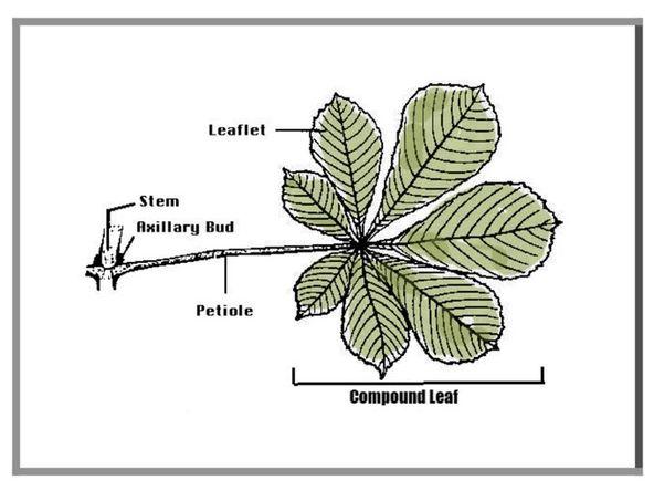 compound leaves - Montessori botany classification