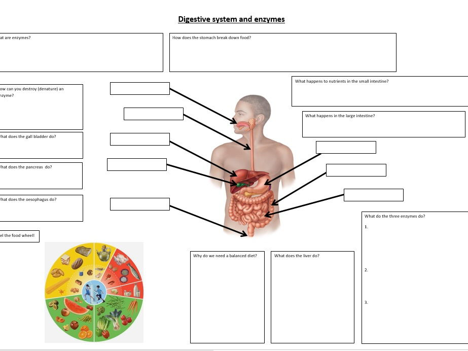 Digestion and enzymes revision sheet KS3