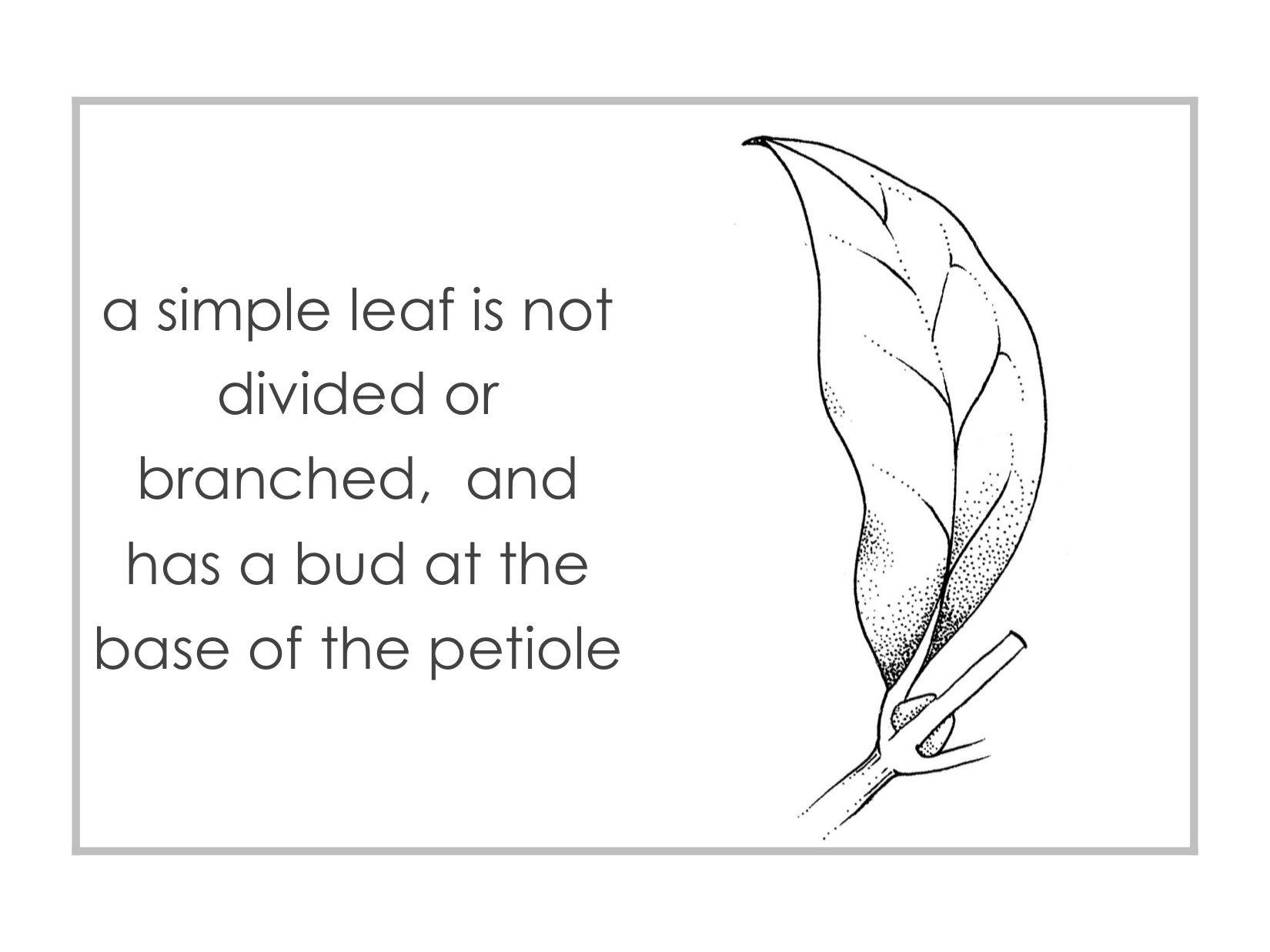 leaves - Montessori botany classification