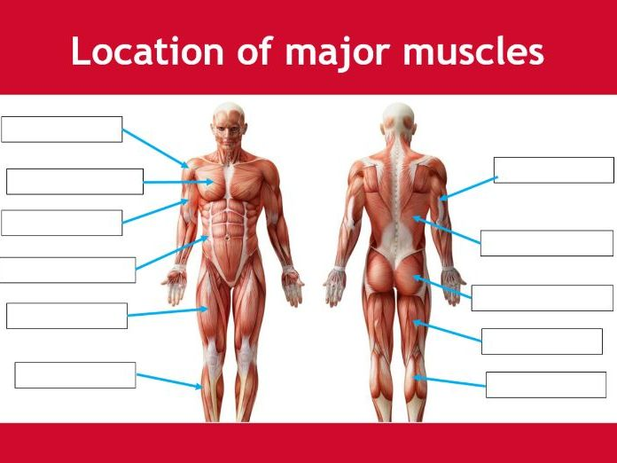 Muscular system worksheet - BTEC Sport - Unit 3 - Applying the principles of personal training