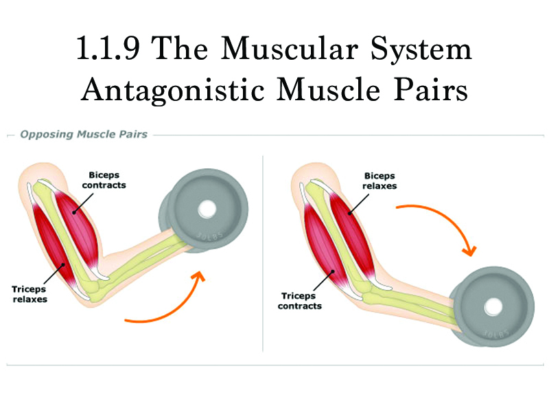 1.1.9 - The Muscular System: Antagonistic Pairs