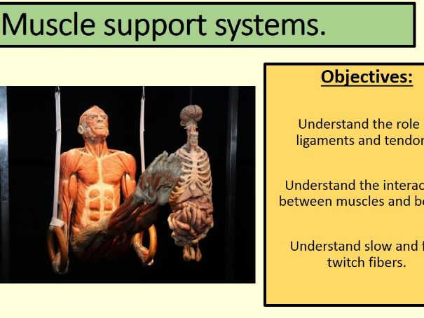 Muscle support systems.