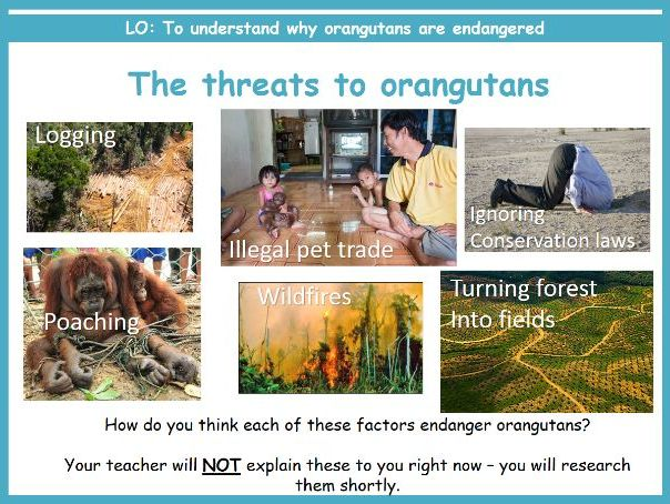 Endangered Species - threats to orangutans