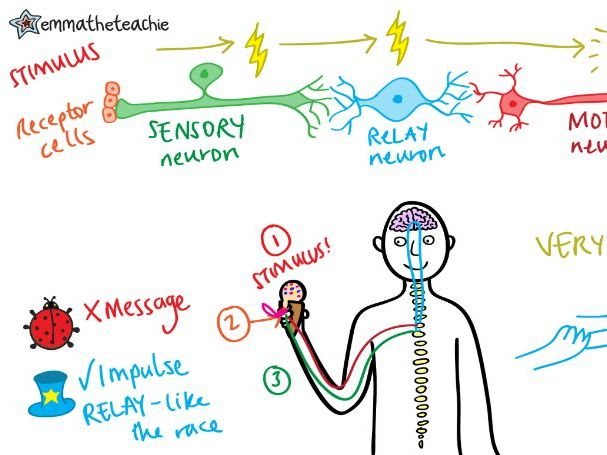 HUMAN NERVOUS SYSTEM Revision Video GCSE 9-1 Bio & Combined Science - AQA