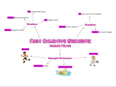 Fast Oxidative Glycolytic Muscle Fibre Poster AS PE OCR