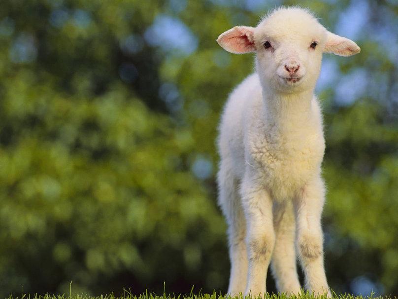 The Lamb' PPT - William Blake