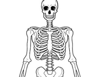 Edexcel GCSE PE - Skeletal system