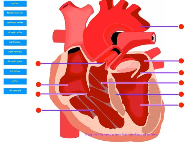Structure of the heart drag & drop