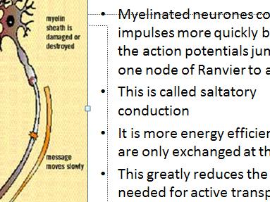 Speed of nerve impulse