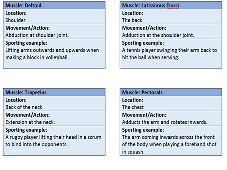 GCSE PE OCR 9-1 Location & role of muscles flash/revision cards