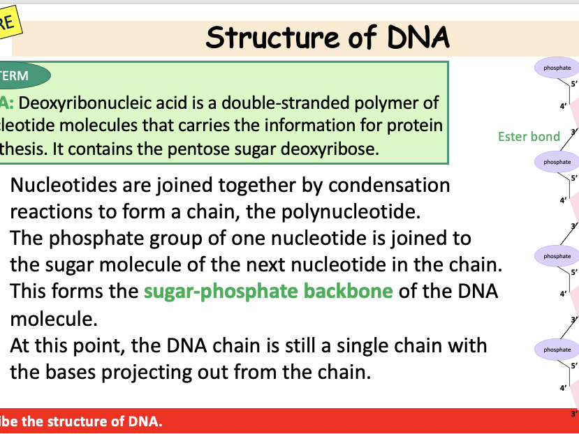 DNA Structure and Modelling