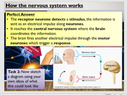 KS4 B10.2 Structure and function of the nervous system