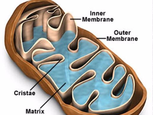 Respiration in Cells