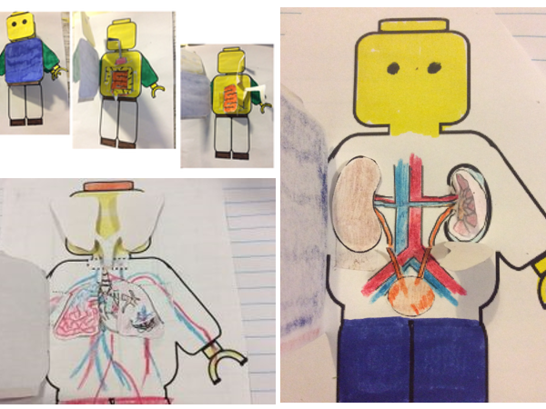 Organ systems Bundle -digestive, urinary, circulation and respiratory systems foldable and interactive notebooks