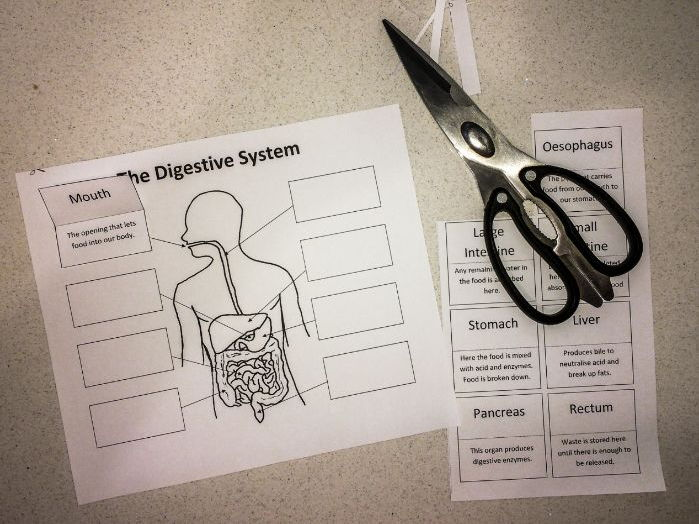 The Digestive System: Create a Labelled Diagram