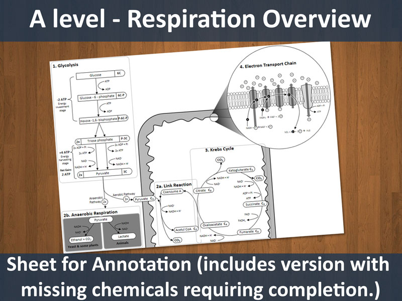Respiration Overview Sheet (A level resource)