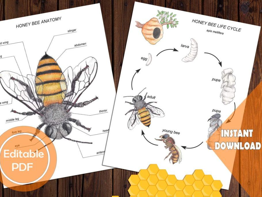 Honey Bee ANATOMY, LIFE CYCLE & Spin wheel, Editable PDF