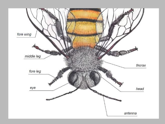 HONEY BEE ANATOMY / Editable Watercolor Bees / Homeschool Printable / Insect
