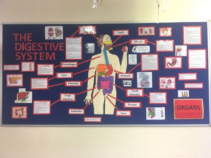 Human Digestive system  Interactive Classroom Display