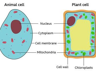 Year 7 Organisms : Cells : Lesson 1 : Animal and Plant ...