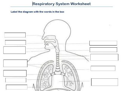 Label the respiratory system