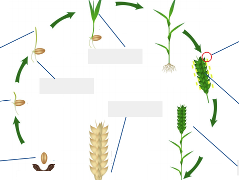 The life cycle and growth of wheat