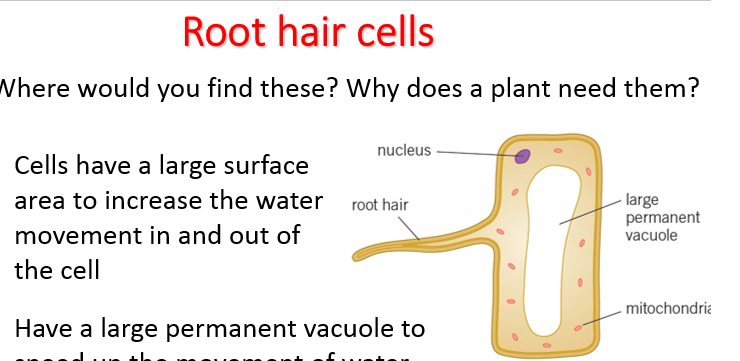 B1.5 AQA specialisation in plant cells