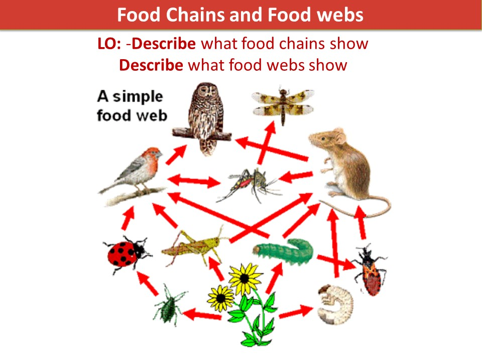 KS3 Activate 2 Biology Food chains and Webs