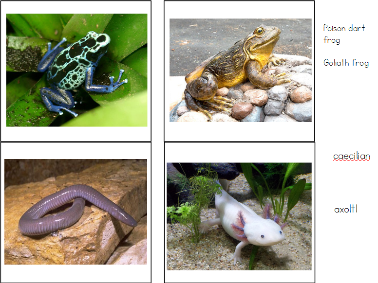 Amphibians Matching Cards