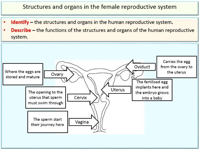 Reproduction - Reproductive organs and gametes for KS3 and KS4 Biology (Science)
