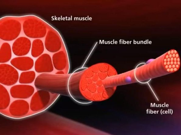 MUSCLE STRUCTURE, MUSCLE FIBER TYPES , CONTRACTION MECHANISM AND JOINTS