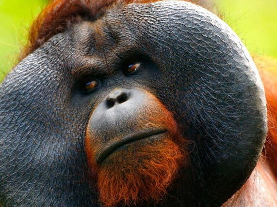 Oranguatans Comprehension
