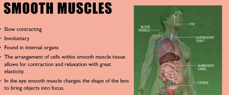 BTEC sport level 3 extended cert Muscular system