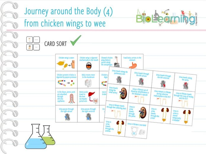 Journey around the body (4): from chicken wings to wee - Card sort (KS3/KS4)